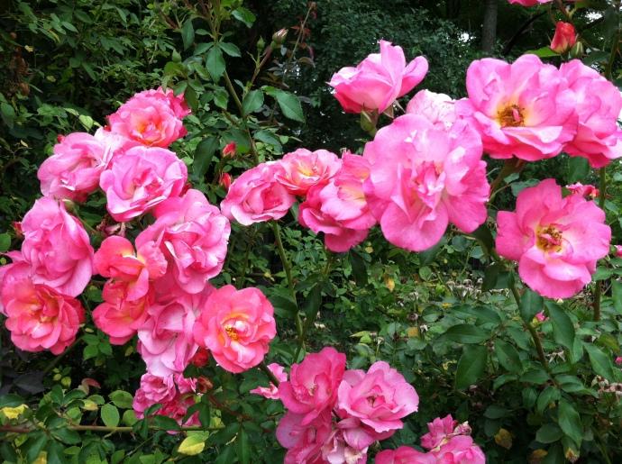 Roses enough for everyone